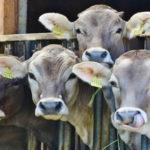 factor que determina la rentabilidad de una granja es el confort de las vacas1920